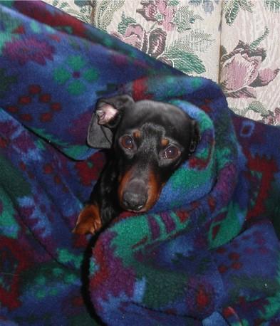 Moose_in_a_blanket
